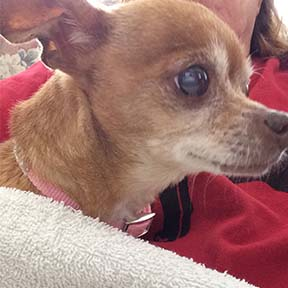 Ginger 18 year old chihuahua
